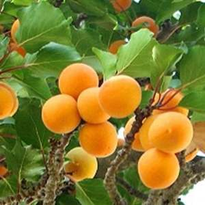 APRICOT 'GOLD NUGGET'