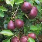 PEAR 'SECKLE'