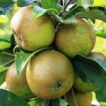 APPLE 'EGREMONT RUSSET' MM106