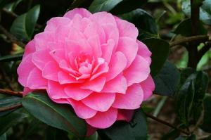 CAMELLIA 'WATER LILY'