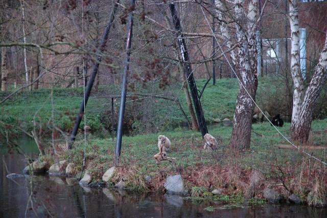 Gibbonabeunge