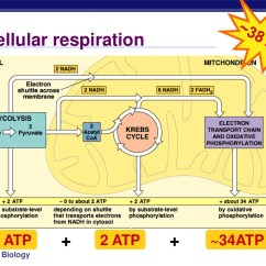 Photosynthesis And Cellular Respiration Diagram 2002 Chevrolet Silverado Radio Wiring Honors  Kaiserscience