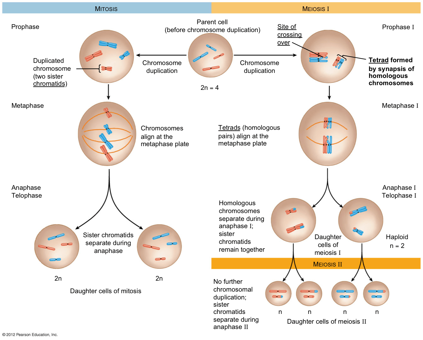 stages of mitosis and meiosis diagrams use a venn diagram to illustrate the relationship  kaiserscience