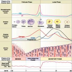 Menstrual Cycle Diagram With Ovulation Mercedes W124 Wiring Diagrams Human Reproduction  Kaiserscience