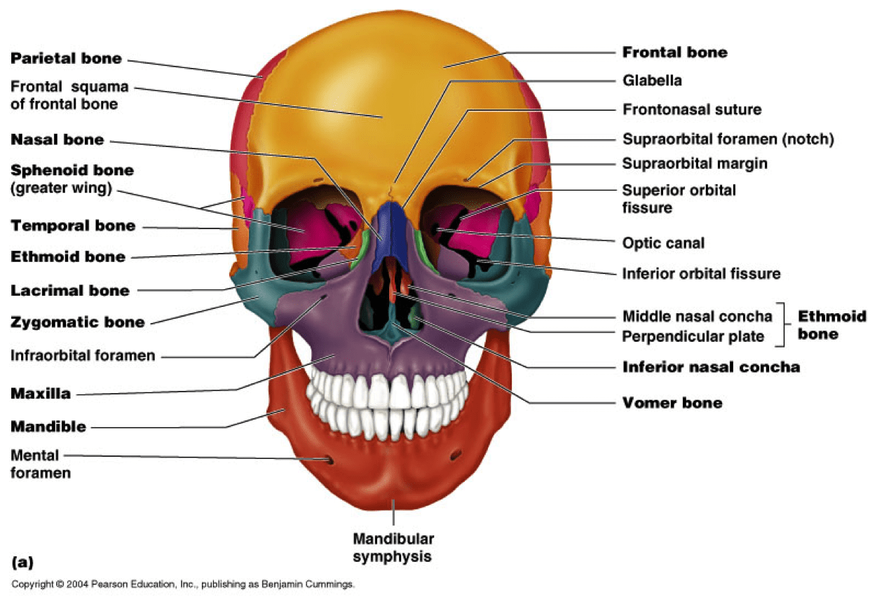 diagram of skull superior view anatomy iron carbon with explanation skeleton  kaiserscience