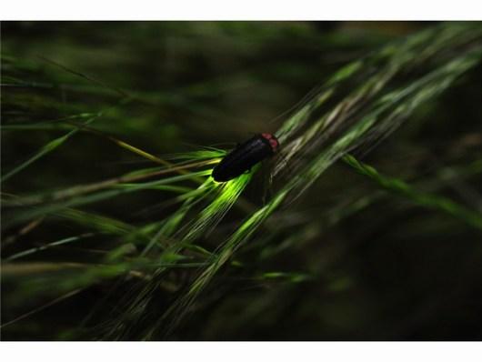 Firefly_ホタル_蛍_Hotaru_JALAN_140514