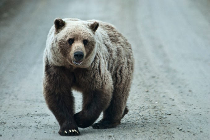 A grizzly bear stalks the Park Road at Denali National Park.