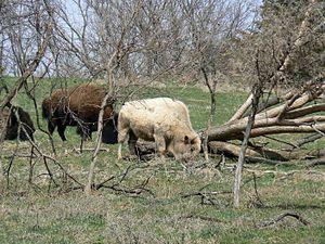 English: (Bison bison), Blonde bison at Lee G....