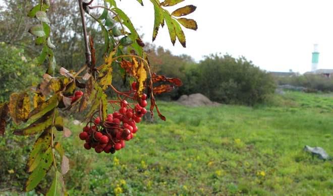 Rönnbär - ängen på Valö.