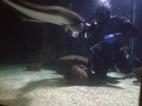 Pigghaj tar sig en bläckfisk från dykarens hand.