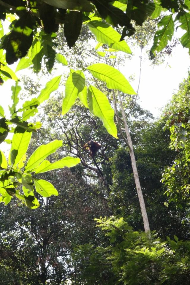 Orangutan in canopy_LH