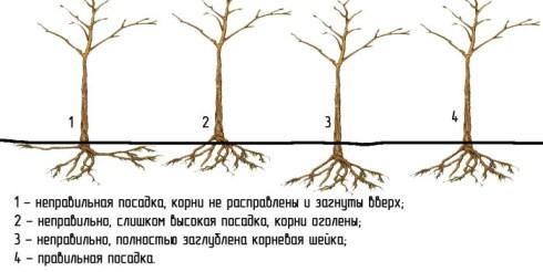 Как правильно посадить деревья фруктовые осенью?