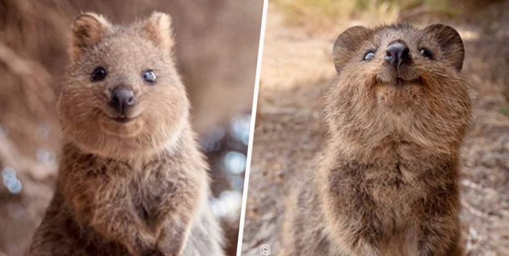Куока е австралийско животно, за което се твърди, че е най-фотогеничното и усмихнато животно на планетата.