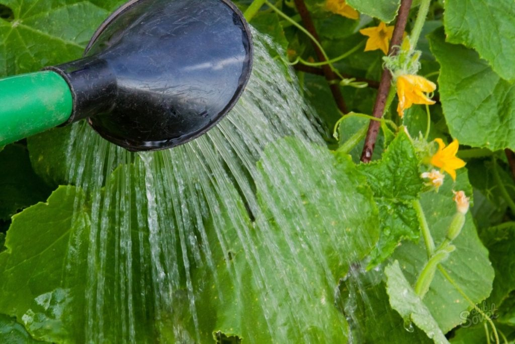 Как да поливаме правилно краставиците, за по-голям добив.