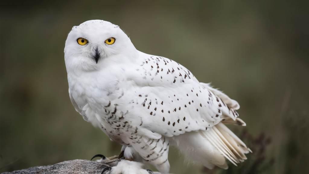Полярната сова е едно от най-красивите животни в света.