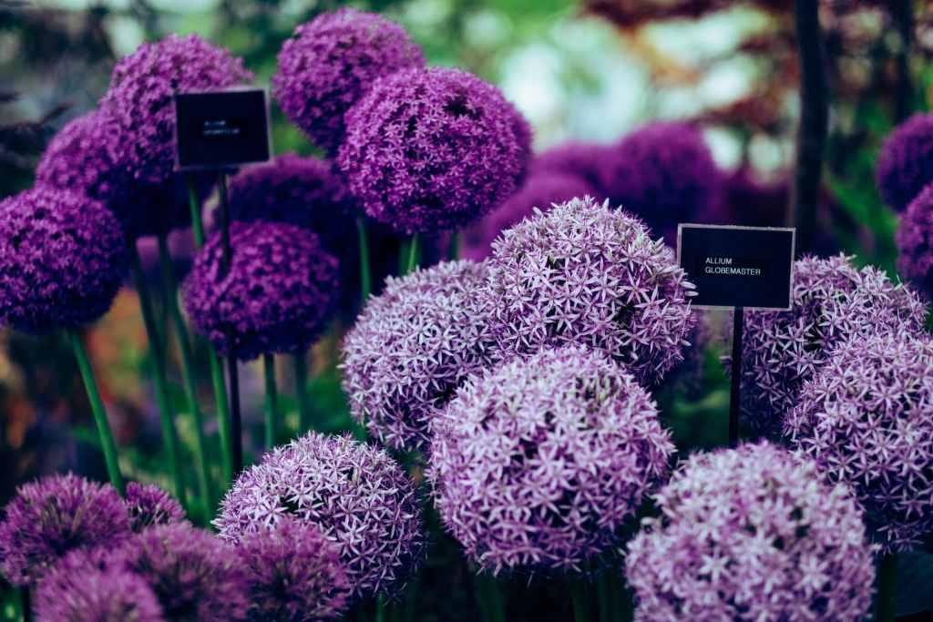 Алиум - едно много красиво цвете за нашата градина