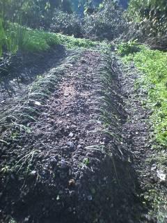 玉ねぎの苗の植え付け