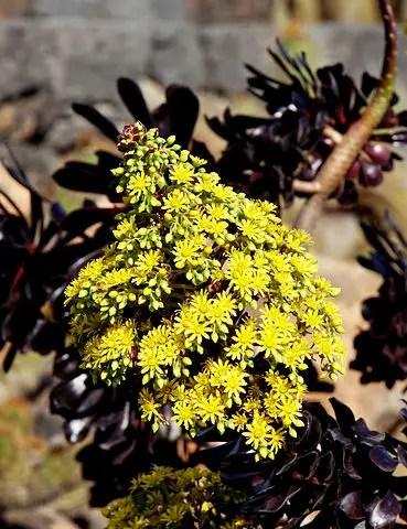 yellow succulent aoenium arboreum