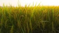 Landak hasilkan benih padi unggul