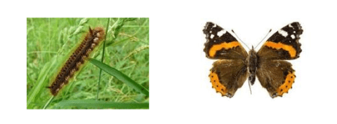 caterpillars change into butterflies