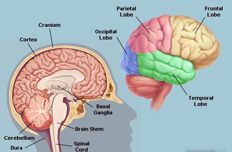 Brain Areas.  Allan Ajifo/Flickr, CC BY