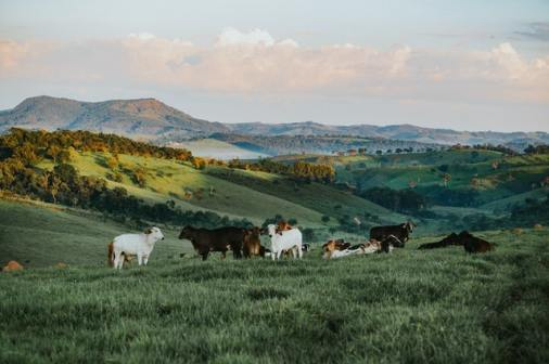 Cows in a Natural Pasture. Image by Helena Lopes.