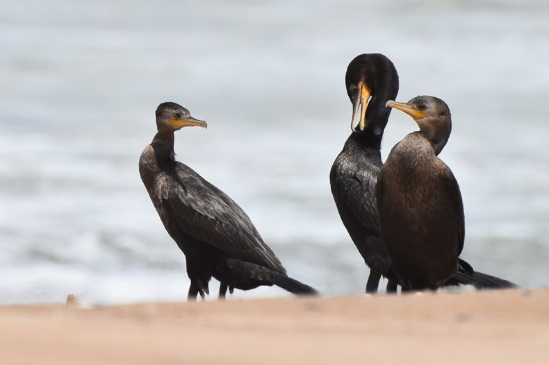 neotropic-cormorant-mama-bendy-neck-punta-negra-smaller