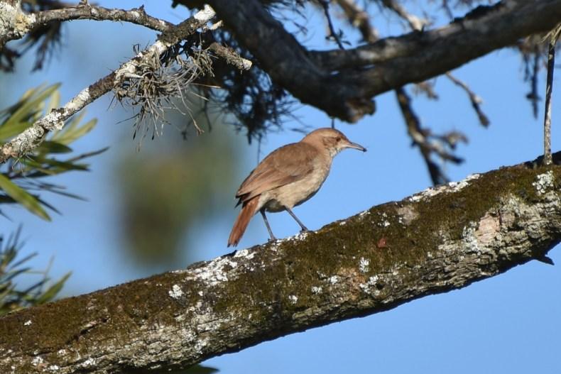 brown-bird-on-branch-solis-de-mataojo