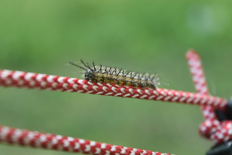 The Very Hungry Caterpillar crawls up a guy-line of our tent.