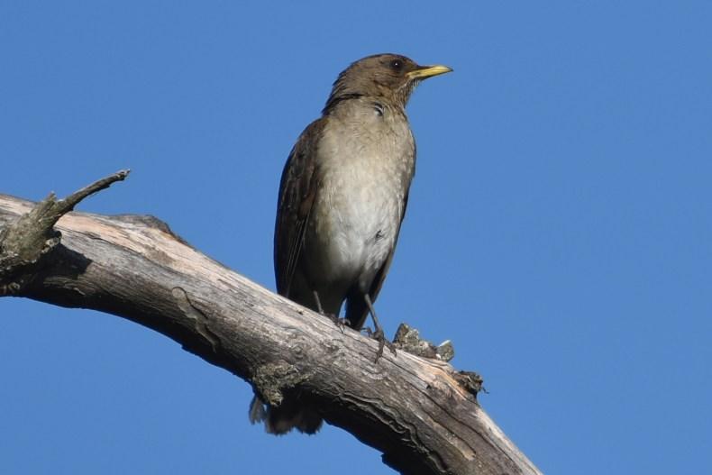 kooky-bird-on-branch-solis-de-mataojo