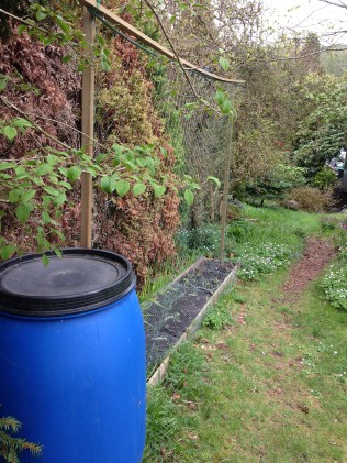 Water barrel beside the peas.
