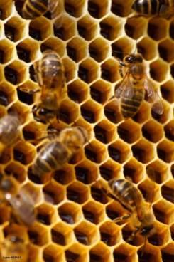 ruche-grand-chalon-abeilles