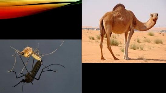 camel - mosquito