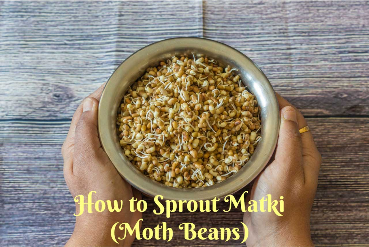 How to sprout matki-Moth Beans Sprout