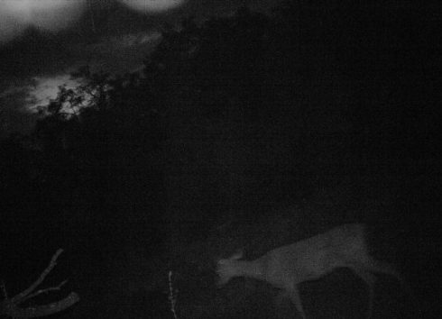 Night Deer