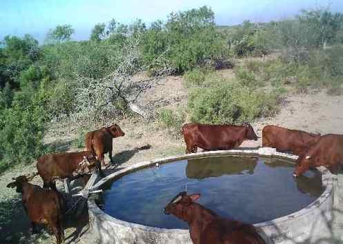 Cows at a basin