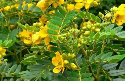 Benefits of Avaram Flower