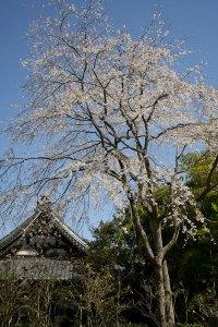 安国論寺本堂右手の枝垂桜。高さがあるので、空が青い日にはみとれるほど空と花がきれいです。