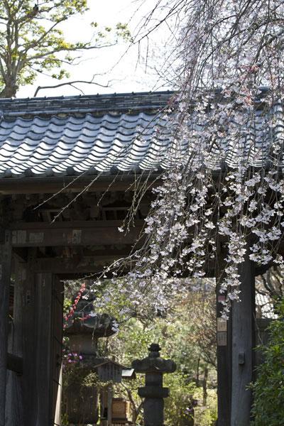 門前の枝垂桜、近影。