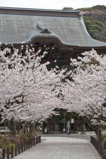 三門前の桜は鎌倉名物の風景です。