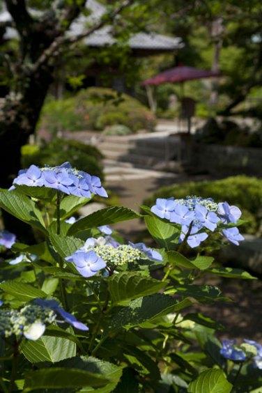 海蔵寺のガクアジサイ。海蔵寺配置がきれいなので写真映えします。