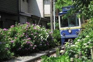 6月初旬にはあじさいが咲き始め、境内を江ノ電が走り抜けます。