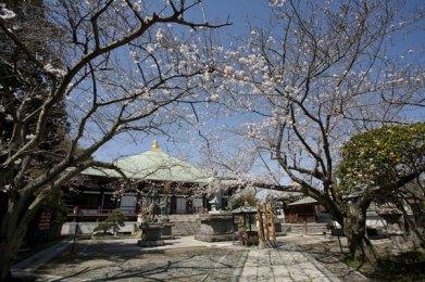本堂前に桜のアーチができます。