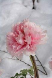神苑牡丹園。白い雪に淡い色がよく合います。