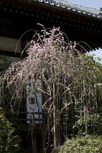 本堂左手にある枝垂梅。