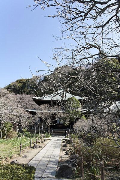 本堂正面両側も梅に包まれます。
