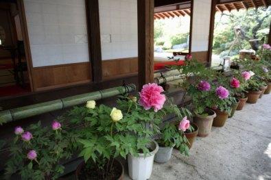 浄妙寺、喜泉庵の牡丹。4月下旬〜5月上旬頃に咲きます。躑躅(ツツジ)や藤(フジ)と同じ時期です。