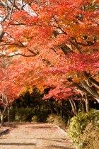頼朝像の後ろの歩道も紅葉に囲まれます。