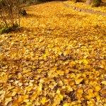 紅い紅葉と黄の落葉。コントラストがきれいです。
