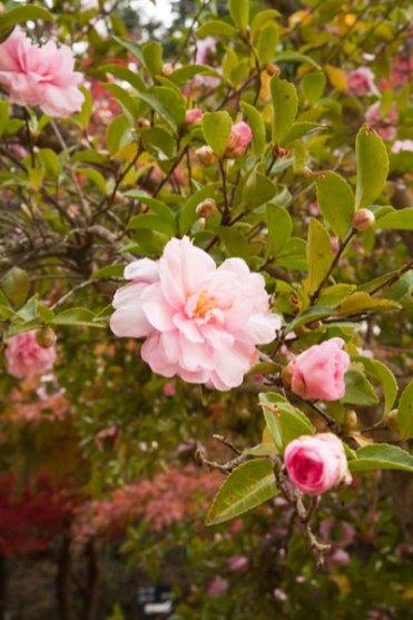 紅や黄の紅葉のなかに淡い色の山茶花。鮮やかでした。